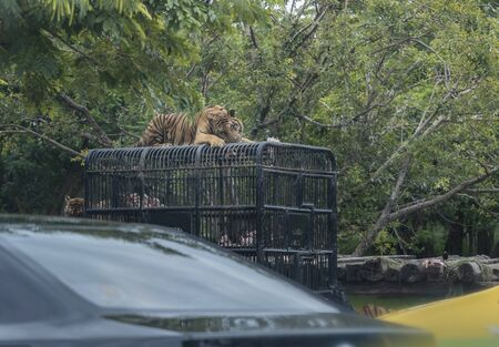 Tiger is eating fresh meat, feeding tiger in an open zoo. View from the car. Stock Photo