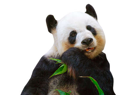 Portrait giant panda bear eating bamboo leaves in a zoo of Chiang Mai, Thailand.