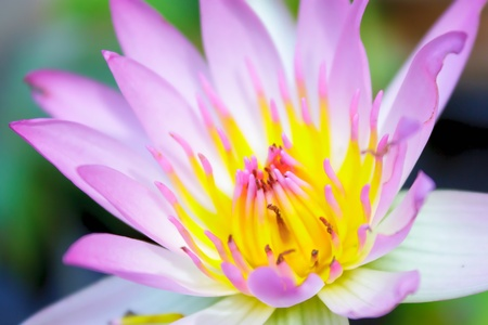 lotus flower Stock Photo - 13510149