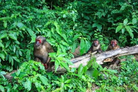 macaque: l'action � la recherche du macaque ours