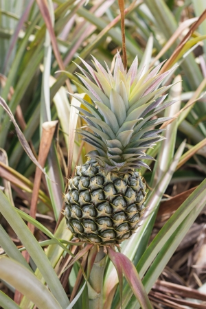 immature: the immature pineapple in the plantation from Thailand