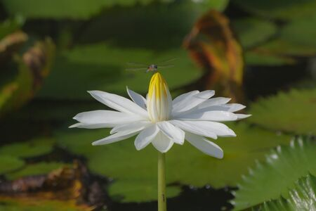 blooming water lily in the marsh,Thailand photo