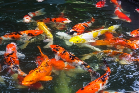 the group of koi carp fish swimming in the pond photo