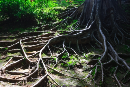 tree roots: the tree roots spreading on the ground