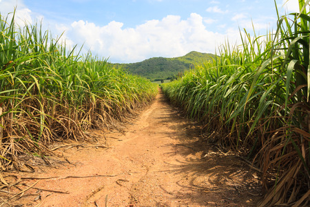 young sugarcane plantation  in Thailand