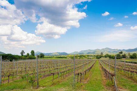 huahin: view of vineyard on sunny day in Huahin,Thailand Stock Photo