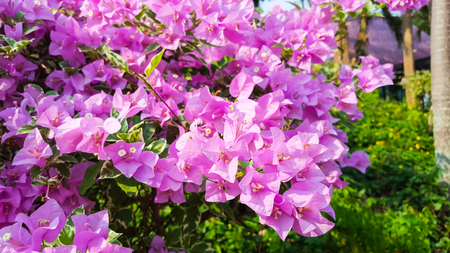 Blooming bougainvillea colorful paper flower stock photo picture blooming bougainvillea colorful paper flower stock photo 57632723 mightylinksfo