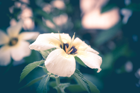 white yellow flower in garden in vintage style,sage flower