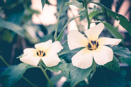 turnera: white yellow flower in garden in vintage style,sage flower