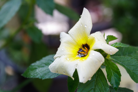 white yellow flower in garden,sage flower Stock Photo