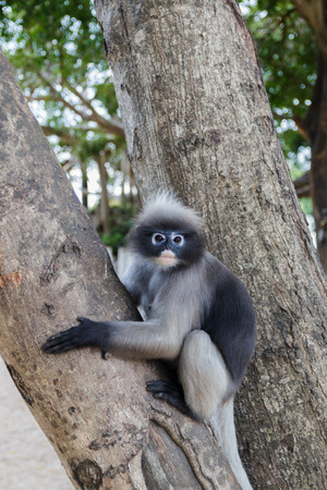 cute  action of dusky langur