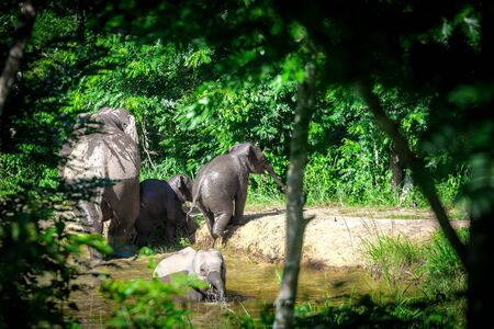 group of family wild elephant play water in Kuiburi national park,Thailand ,taken from hiding spot