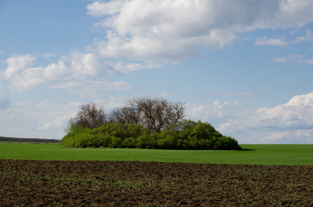 plowed field: Green wheat field with an island green trees in the middle. And plowed field