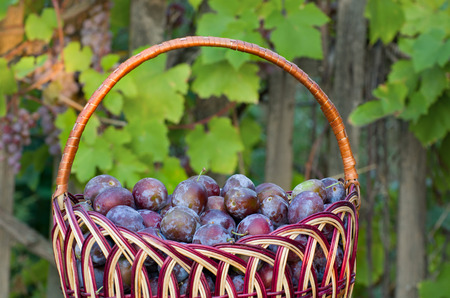 purple leaf plum: Wicker basket with plums in the garden background with grapes