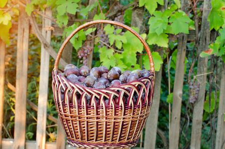 sulight: Ripe plums in a wicker basket on the background of grape leaves in the yard Stock Photo