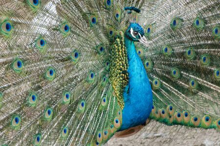 Peacock with a loose tail. Close-up