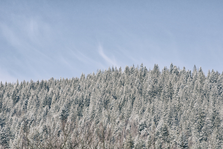 Snow-covered spruce and blue sky. Thick coniferous forest. Winter landscape 免版税图像
