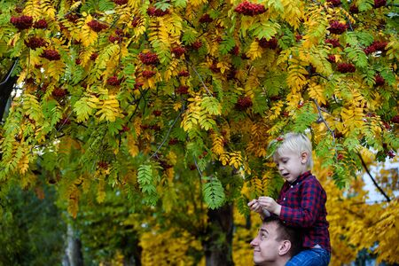 Blond boy in a plaid shirt sits on his fathers shoulders. Stand under rowan. Autumn, yellow leaves 写真素材
