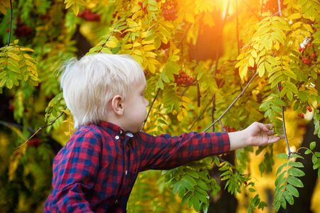 Blond boy in a plaid shirt touches the leaves of mountain ash. Autumn, yellow leaves