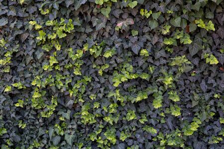 Wall of light and dark green ivy. Backgrounds and textures.