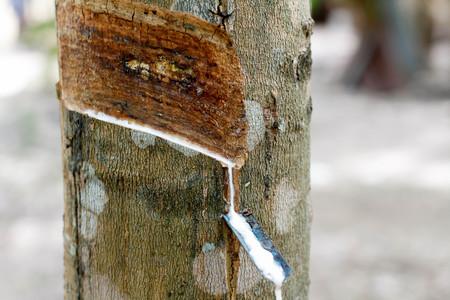 Kautschuklatex von Kautschukbäumen Standard-Bild