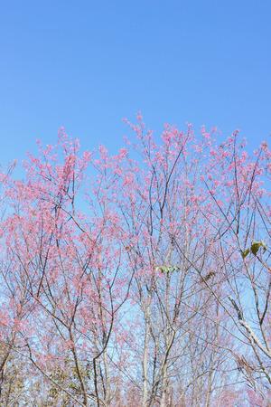 Wild Himalayan Cherry with blue sky on Phu Lom Lo
