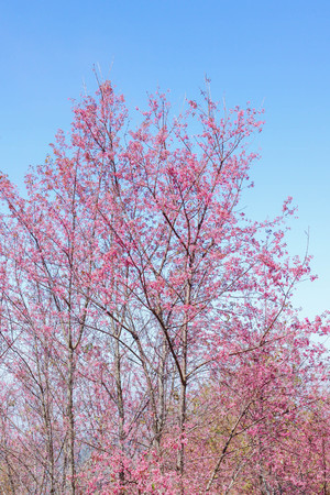 soft focus wild Himalayan Cherry with blue sky on Phu Lom Lo