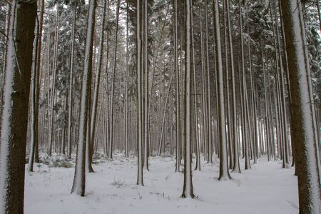 hoarfrost: Forest in Winter. Stock Photo