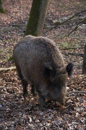 wild boar: Wild boar. Stock Photo