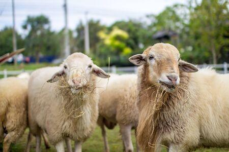 sheeps: Sheeps