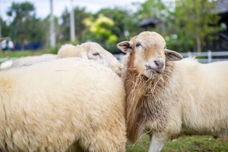 masticate: sheeps Stock Photo