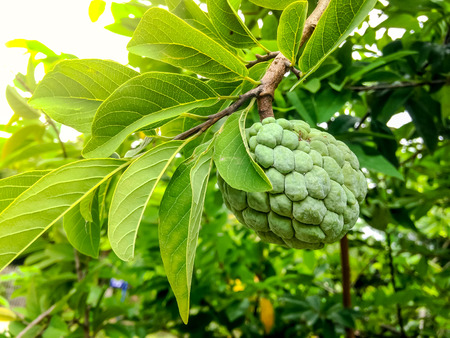 custard apple: custard apple on tree