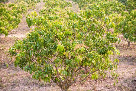 orchards: Mango orchards