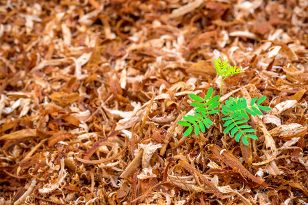 scobs: The sapling on the sawdust