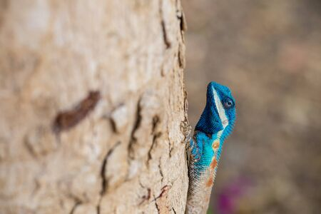 bloodsucker: Blue-crested Lizard ,Indo-Chinese Forest Lizard ,Indo-Chinese Bloodsucker