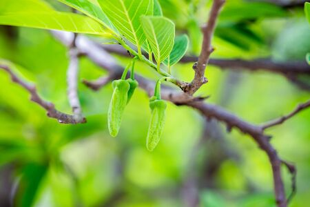custard apples: Leaf and flower of custard apples Stock Photo