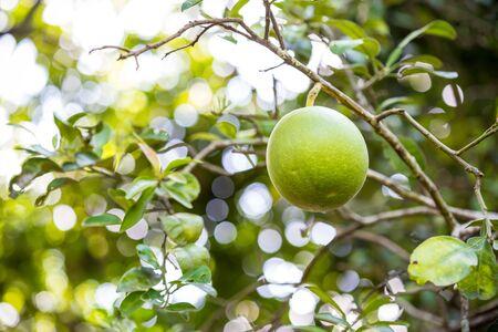pomelo: green pomelo on tree