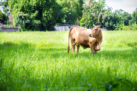 fetter: brown cow in the green meadow