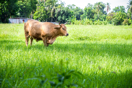 manacle: brown cow in the green meadow
