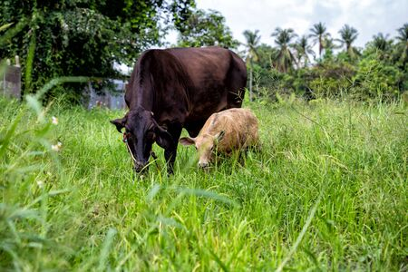 manacle: mother cow and calf in green meadow
