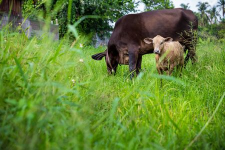 mother cow and calf in green meadow