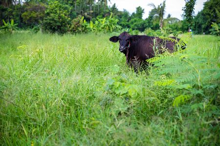 black cow in green meadow