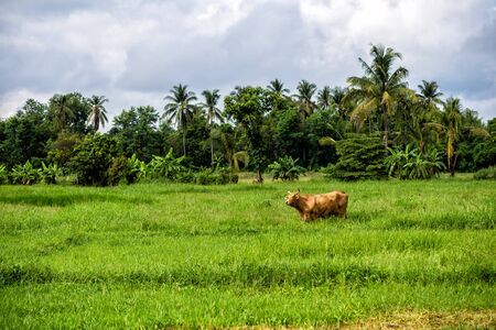 brown cow in the green meadow