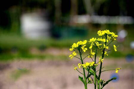 bog: bog choy flowers