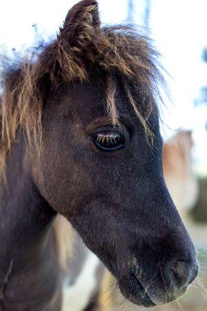 close up Shetland pony in farm