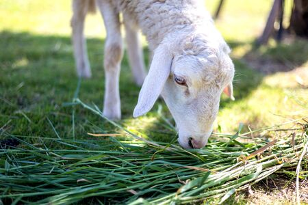 chew: sheep chew grass