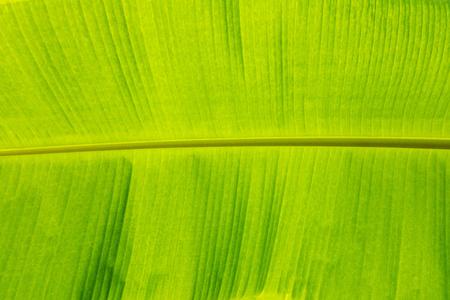 underneath banana leaf texture which see thru sunlight