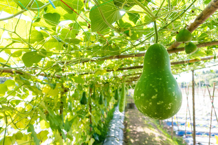 Bottle gourd (Lagenaria siceraria Standl.) Hanging on a wooden structure in farm Banque d'images - 91515759