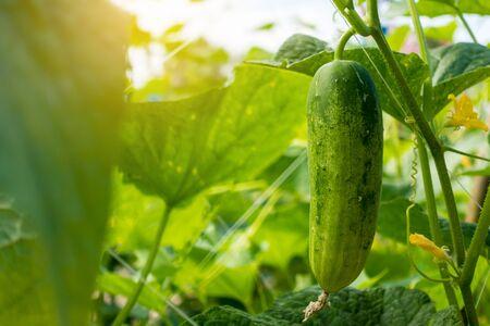 Cucumber in the garden Stock fotó