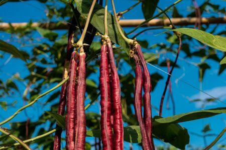 Purple Long Bean in the garden